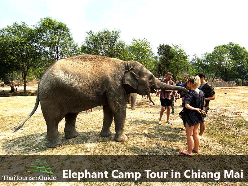 Feeding food to Thai elephants on elephant tour Chiang Mai.