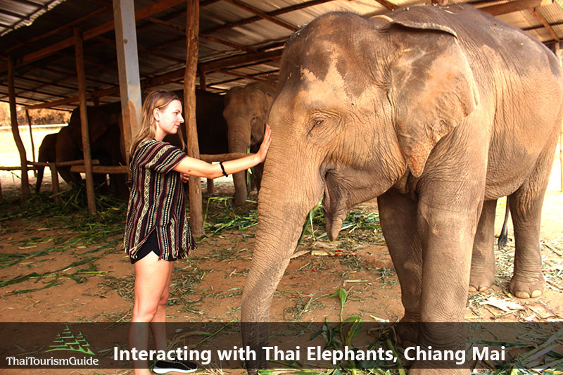 Interacting with Thai elephants Chiang Mai Thailand.