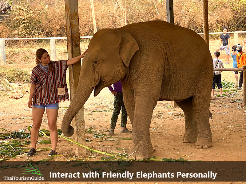 Touching and interacting with Thai elephants Chiang Mai Thailand.