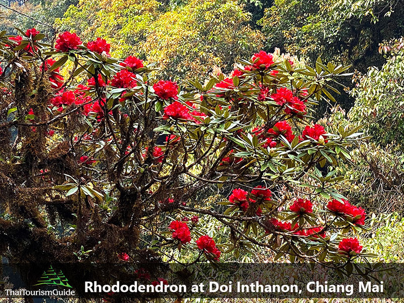 Rhododendron at Doi Inthanon, Chiang Mai
