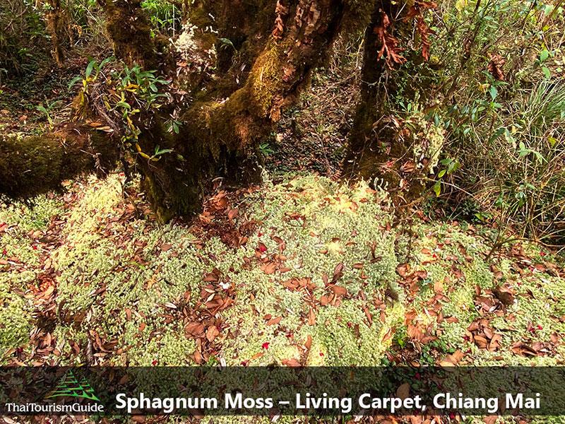 Sphagnum Moss at Doi Inthanon, Chiang Mai